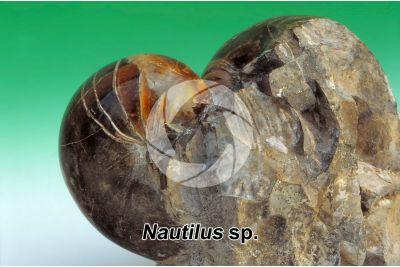 Nautilus sp. Cephalopod. Fossil. Cretaceous