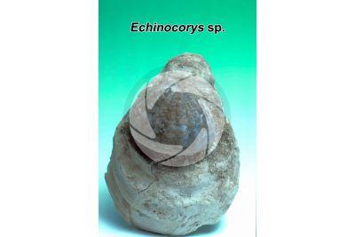 Echinocorys sp. Echinoide. Fossile. Cretaceo superiore