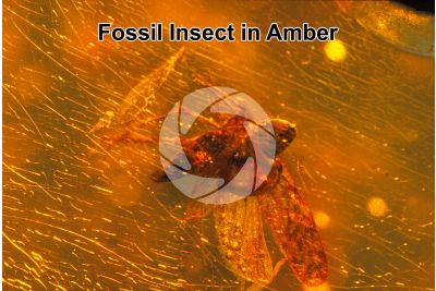 Insecta. Insect. Fossil in Amber. Cretaceous