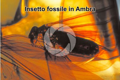Insecta. Insetto. Fossile in Ambra. Cretaceo