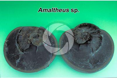 Amaltheus sp. Ammonite. Fossil. Early Jurassic