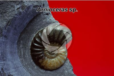 Arnioceras sp. Ammonite. Fossil. Early Jurassic