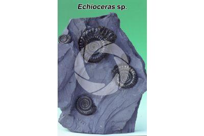 Echioceras sp. Ammonite. Fossil. Jurassic