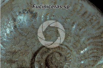 Fuciniceras sp. Ammonite. Fossil. Early Jurassic