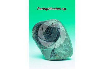 Perisphinctes sp. Ammonite. Fossil. Late Jurassic