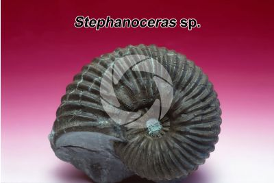 Stephanoceras sp. Ammonite. Fossil. Late Jurassic