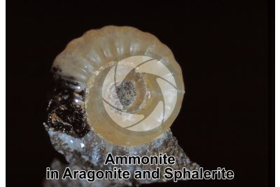 Ammonite in Aragonite and Sphalerite. Fossil. Jurassic