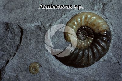 Arnioceras sp. Ammonite. Fossile. Giurassico inferiore