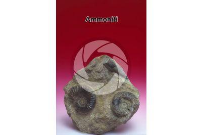Ammonoidea. Ammonite. Fossile. Giurassico inferiore