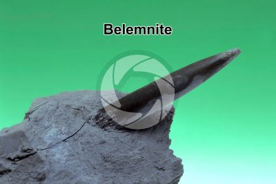 Belemnoidea. Belemnite. Fossile. Giurassico