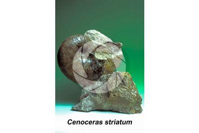 Cenoceras striatum. Cefalopode. Fossile. Giurassico inferiore