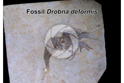 Drobna deformis. Crustacean. Fossil. Late Jurassic