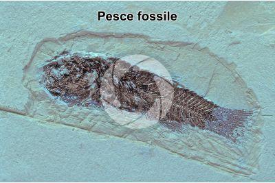 Pesce. Fossile. Giurassico. Solnhofen. Baviera. Germania