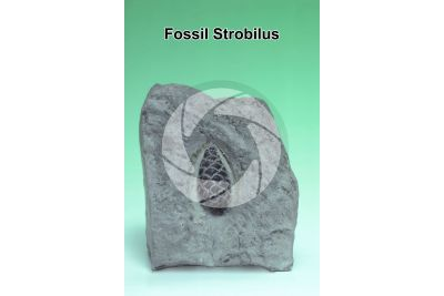 Strobilus. Fossil. Jurassic