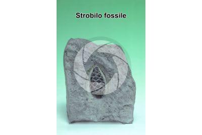 Strobilo. Fossile. Giurassico