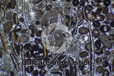 Calcare bioclastico. Fossile. Sezione sottile in luce polarizzata a Nicol incrociati. 32X