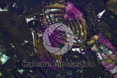 Calcare bioclastico. Fossile. Sezione sottile in luce polarizzata a Nicol incrociati con filtro lambda. 32X
