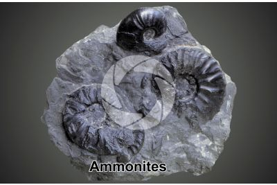 Ammonoidea. Ammonite. Fossil. Middle Triassic. Anisian