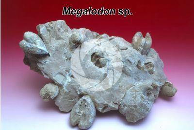 Megalodon sp. Bivalve. Fossile. Triassico