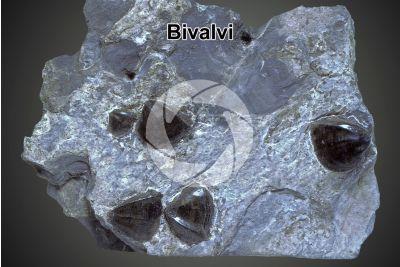 Bivalvia. Bivalve. Fossile. Triassico superiore. Carnico