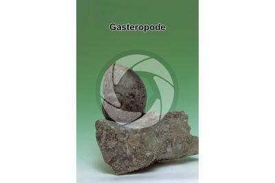 Gastropoda. Gasteropode. Fossile. Triassico