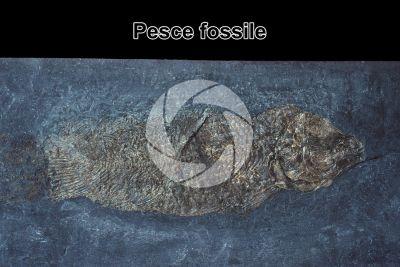 Pesce. Fossile. Triassico