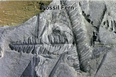 Pteridophyta. Fern. Fossil. Carboniferous