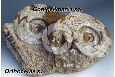 Gonioclimenia sp. and Orthoceras sp. Ammonite and Belemnoid. Fossil. Devonian