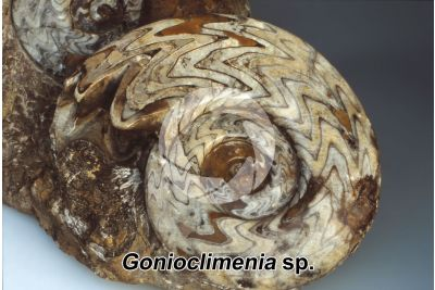 Gonioclimenia sp. Ammonite. Fossile. Devoniano
