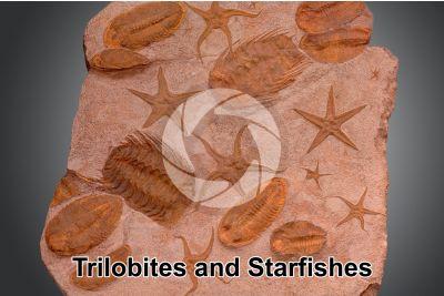 Trilobita and Echinodermata. Trilobite and Starfish. Fossil. Devonian. Morocco