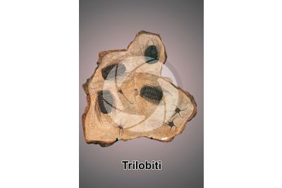 Trilobita. Trilobite. Fossile. Devoniano. Marocco