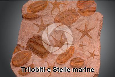 Trilobita e Echinodermata. Trilobite e Stella marina. Fossile. Devoniano. Marocco