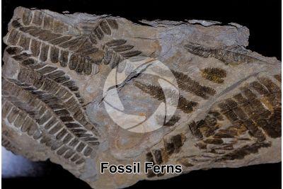 Pteridophyta. Fern. Fossil. Silurian