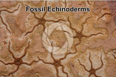 Echinodermata. Echinoderm. Fossil. Ordovician. Morocco