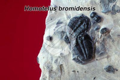 Homotelus bromidensis. Trilobite. Fossil. Ordovician