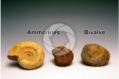 Ammonoidea and Bivalvia. Ammonite and Bivalve. Fossil