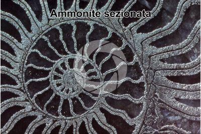 Ammonoidea. Ammonite piritizzata. Fossile