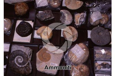 Ammonoidea. Ammonite. Fossile