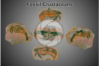 Crustacea. Crustacean. Fossil