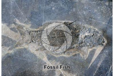 Fish. Fossil