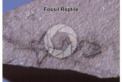 Reptile. Fossil