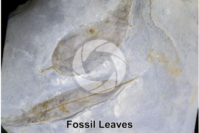 Leaf. Fossil