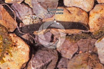 Erpobdella octoculata. Sanguisuga