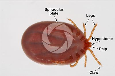 Ixodes canisuga. Dog tick. Ventral view