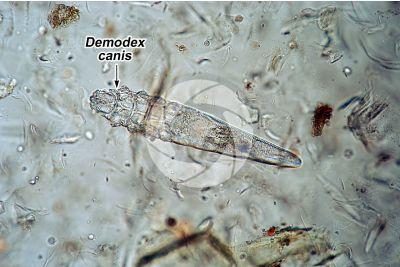 Demodex canis. Rogna demodettica. 100X