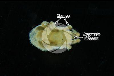 Dermanyssus gallinae. Acaro rosso del pollo. Vista ventrale