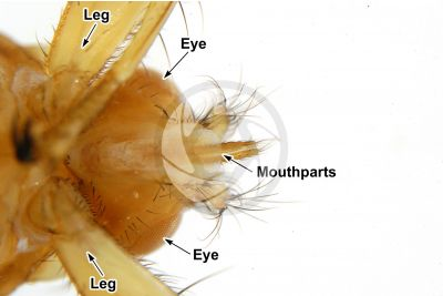 Crataerina hirundinis. Ventral view. 5X
