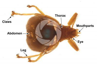 Crataerina pallida. Swift lousefly. Dorsal view