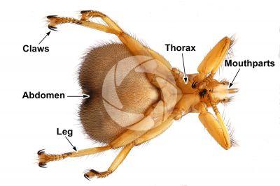 Crataerina pallida. Swift lousefly. Ventral view