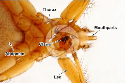 Crataerina pallida. Swift lousefly. Ventral view. 3X